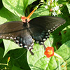 A Spicebush Swallowtail Butterfly (Papilio troilus)