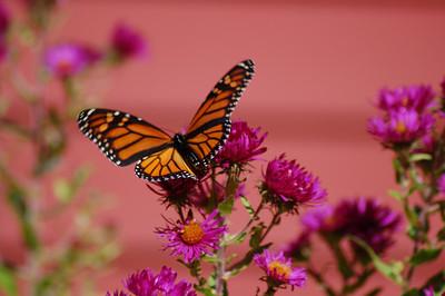 Butterflies_2006-10-08_14