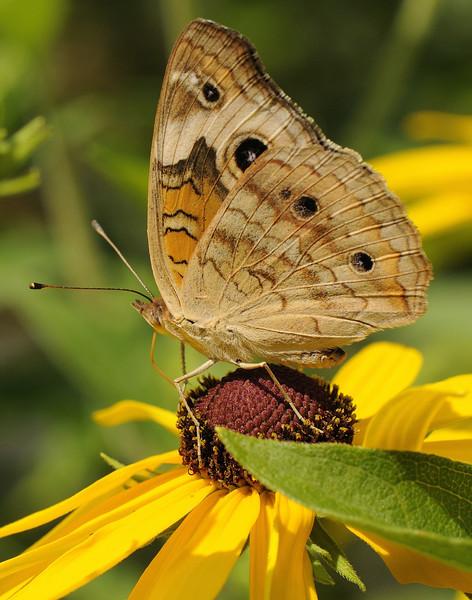 Buckeye Butterfly (4)