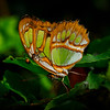 Malachite - Butterfly Wonderland - 20 Nov 2020