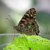 Painted Lady at Boston Butterfly Garden - 30 Mar 2011