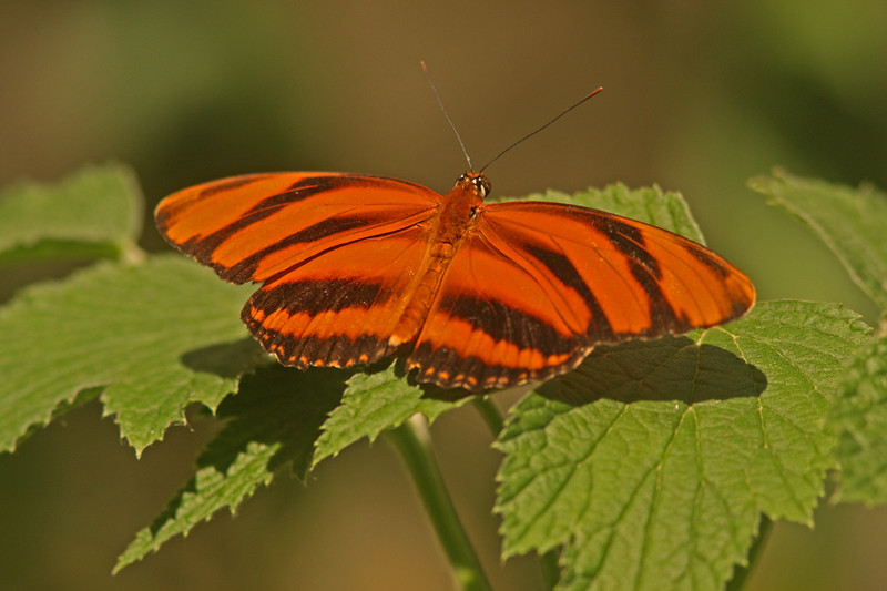 Banded Orange, Turtle Bay Butterfly Garden, Redding CA