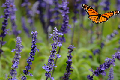 Monarch Butterfly on purple Salvia -- DSC_1014