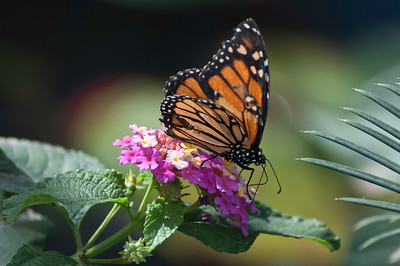 Monarch on pink flowers.
