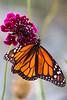 Monarch2198