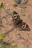 BuckeyeBtrfly2049