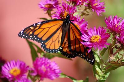 Butterflies_2006-10-08_26