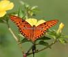 """Gulf fritillary"" butterfly"