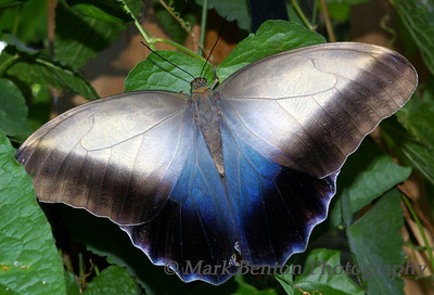 Silver Blue Butterfly