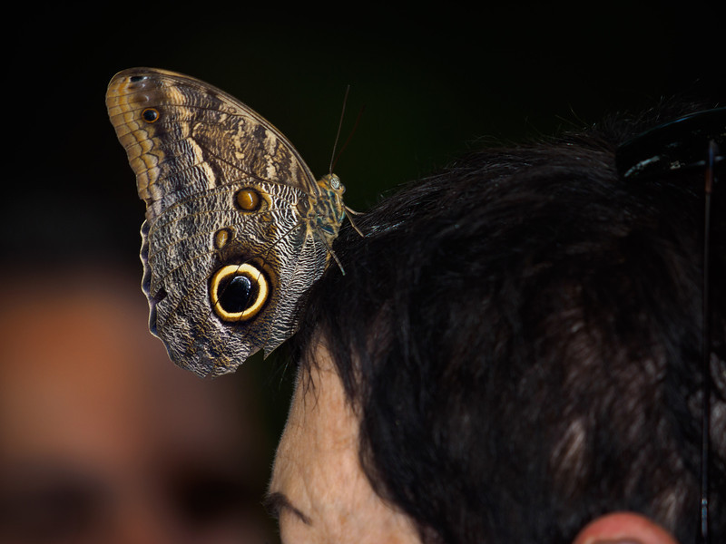 Great Owl at Butterfly Jungle - 4 Apr 2014