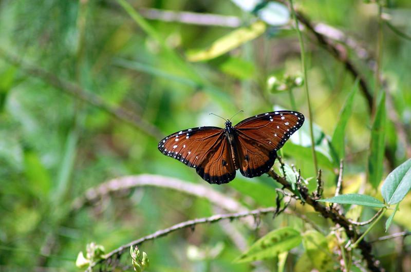 Corkscrew Swawp Queen Butterfly