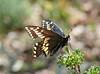 Desert Black Swallowtail
