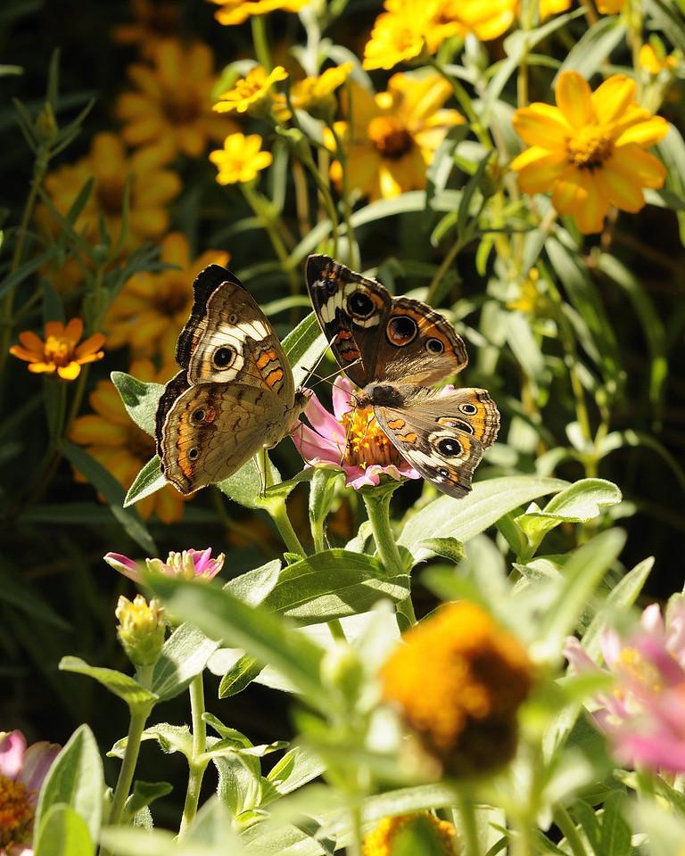 Buckeye Butterfly (15)