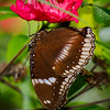 Great Eggfly - Butterfly Wonderland - 20 Nov 2020