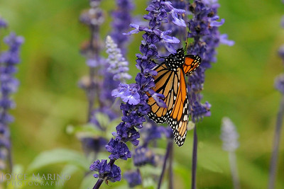 Monarch Butterfly on purple Salvia -- DSC_1028