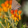 Edwards Hairstreak - July 2011