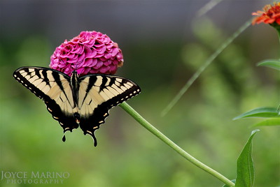 Eastern Swallowtail Butterfly on pink Zinnia (distant)-- DSC_0144,