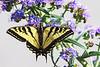 WesternTigerSwallowtail8776