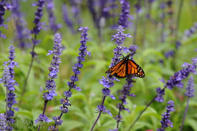 Monarch Butterfly on purple Salvia -- DSC_1008Orig