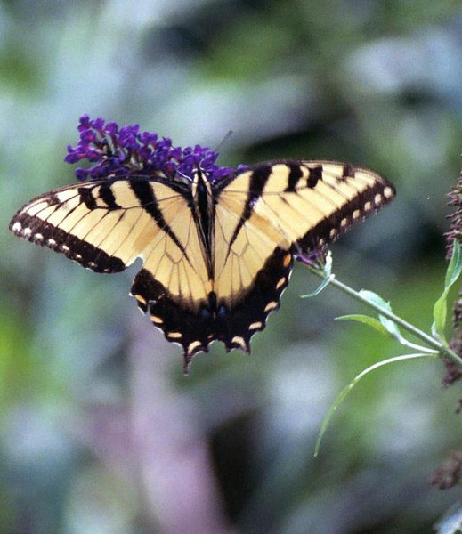 Swallowtail on purple buddelia WV