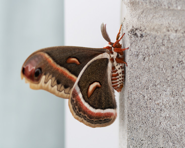 The Cecropia Moth