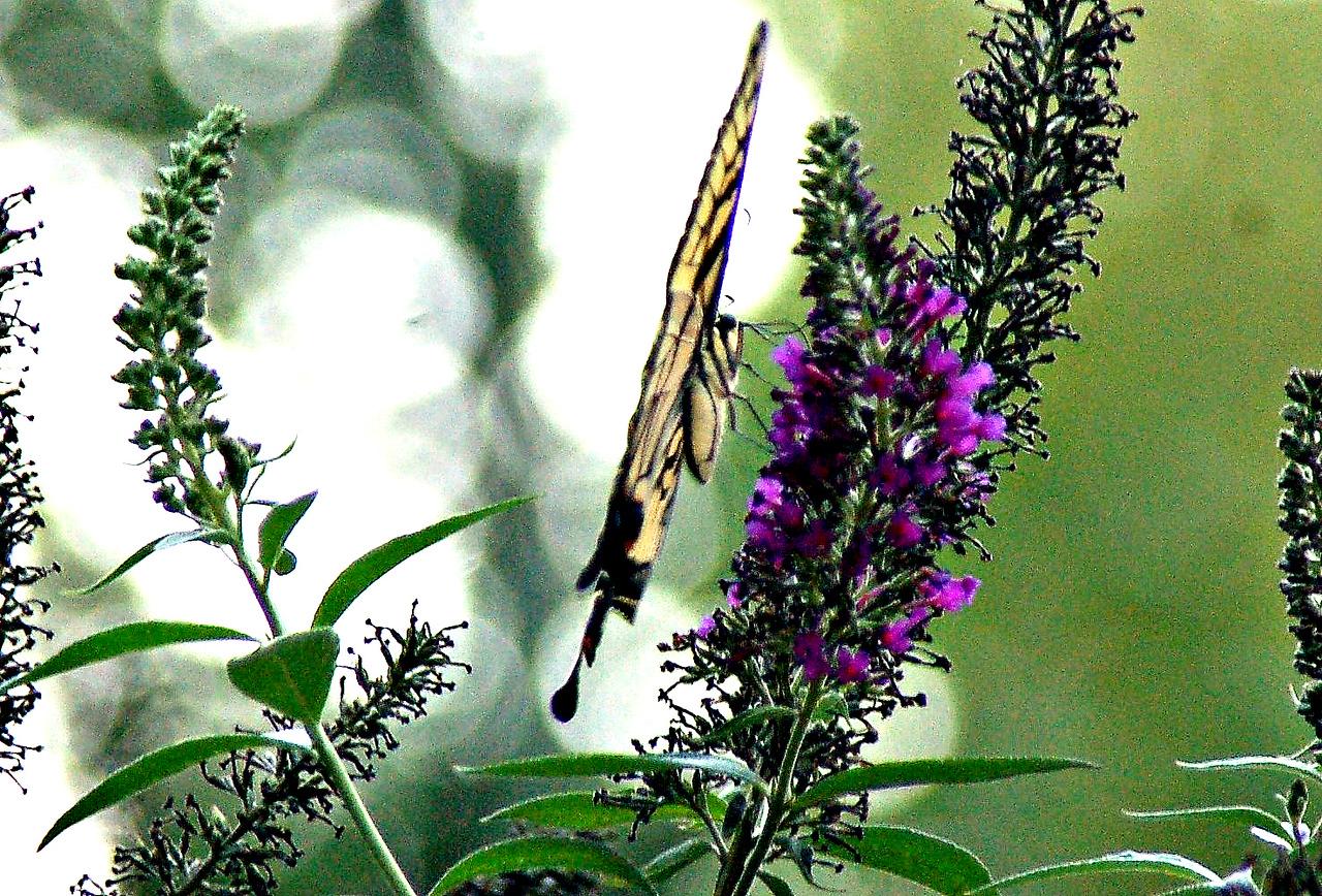 Backyard Butterfly 7-08-52