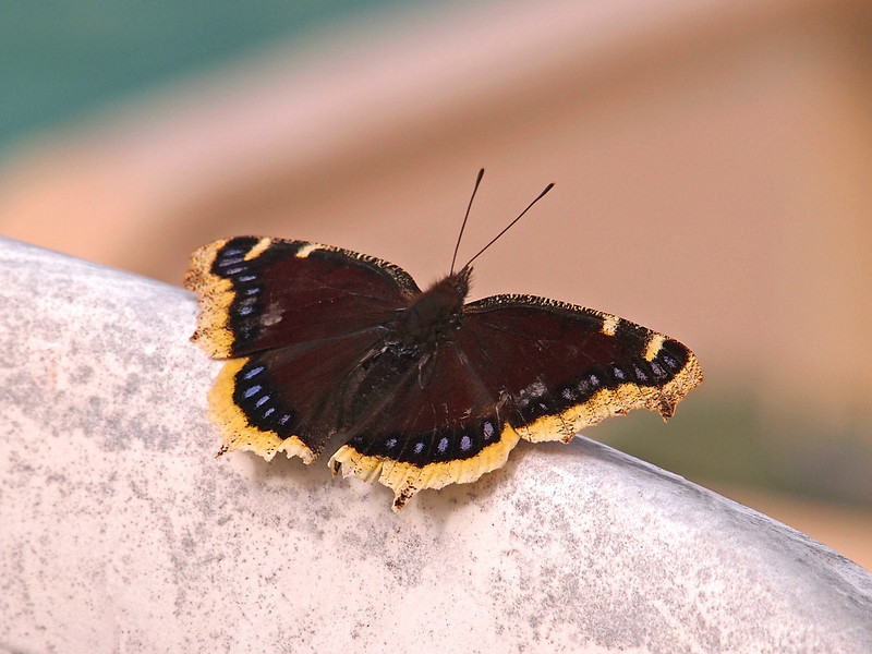First Mourning Cloak of the new year - 8 Jan 2011