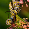 Two Monarch Caterpillars on Swamp Milkweed - July 28, 2010<br /> Getting Bigger!