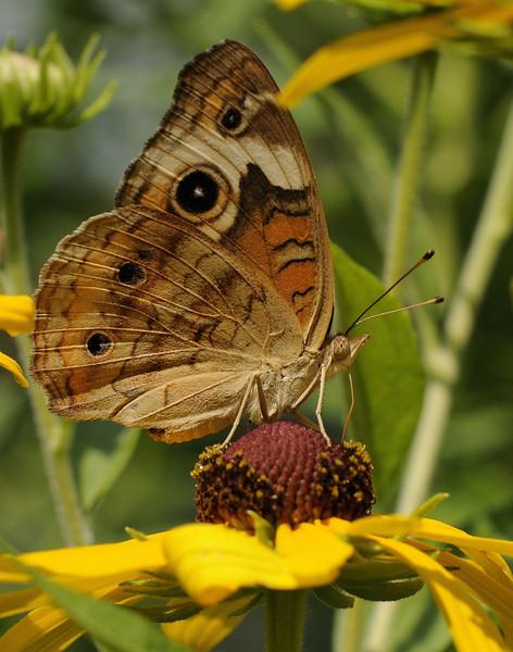 Buckeye Butterfly (7)