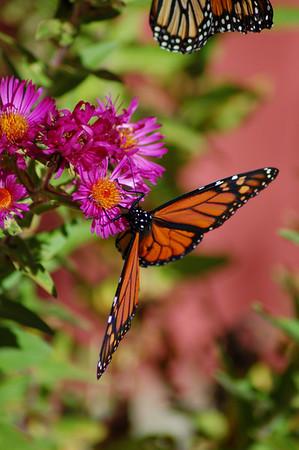 Butterflies_2006-10-08_18