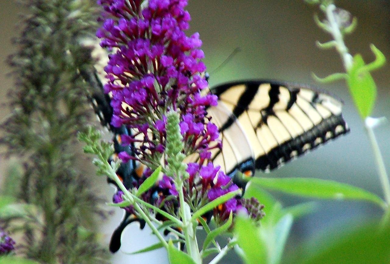 Backyard Butterfly 7-08-20