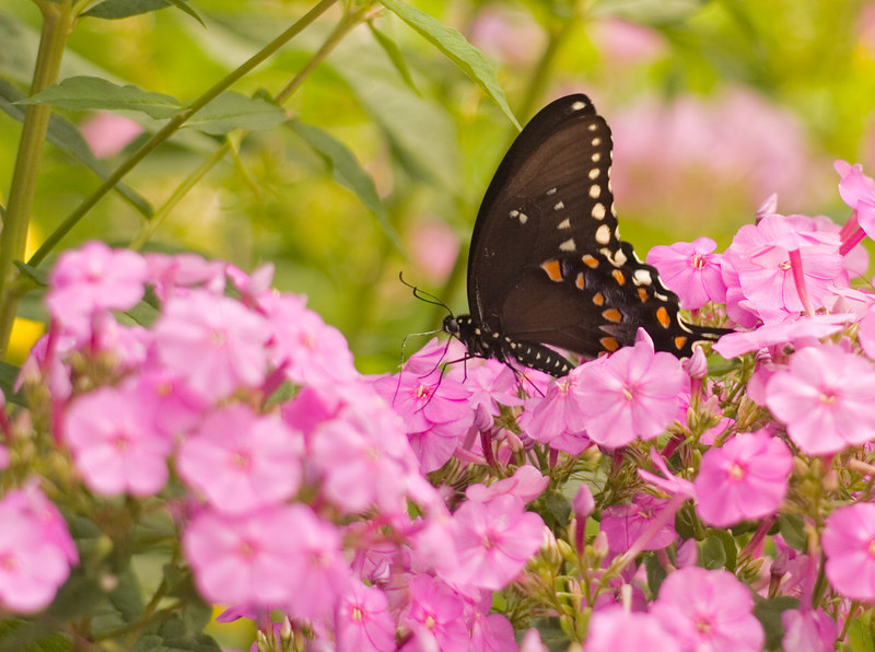 Black Swallowtail on Pink Phlox<br /> Elm Bank - Wellesley, MA<br /> © WEOttinger, The Wildflower Hunter - All rights reserved<br /> For educational use only - this image, or derivative works, can not be used, published, distributed or sold without written permission of the owner.