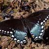 Spicebush Swallowtail - Shawnee - April 2011