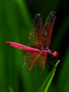 Bright Dragon -  Trithemis aurora (Crimson or Dawn Dropwing) ... we met in Singapore.