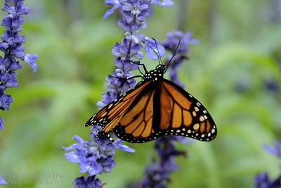 Monarch Butterfly on purple Salvia -- DSC_1008