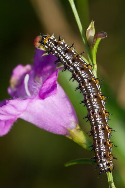 Buckeye caterpillar - Oak Openings region - August 2010