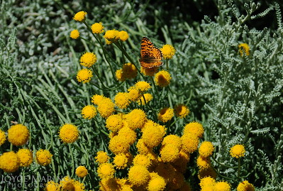 Butterfly on yellow Mums