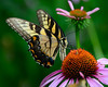 Swallowtail Butterfly on Purple Coneflower<br /> Backyard