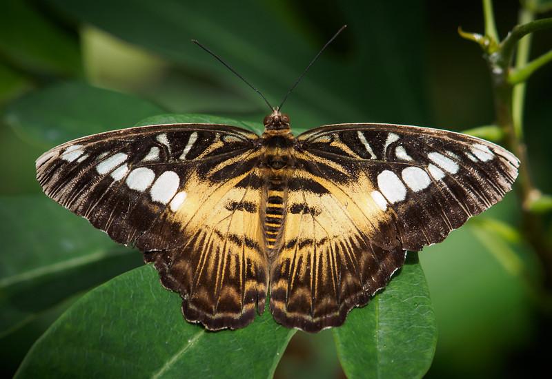 Brown Clipper - Butterfly Wonderland - 28 Mar 2014