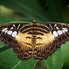 Brown Clipper - Butterfly Wonderland - 28 Mar 2014