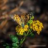 Monarch Butterfly...