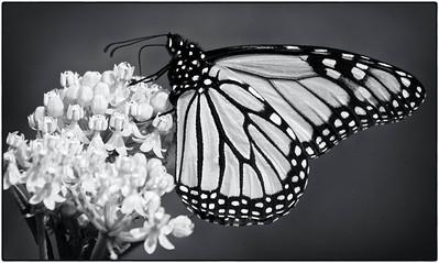 Monarch  08 06 10  018 - Edit