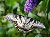 20130817_Butterflies_210