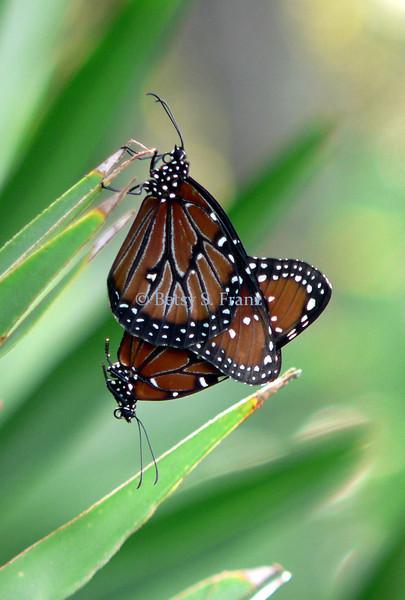 Queen butterflies, mating