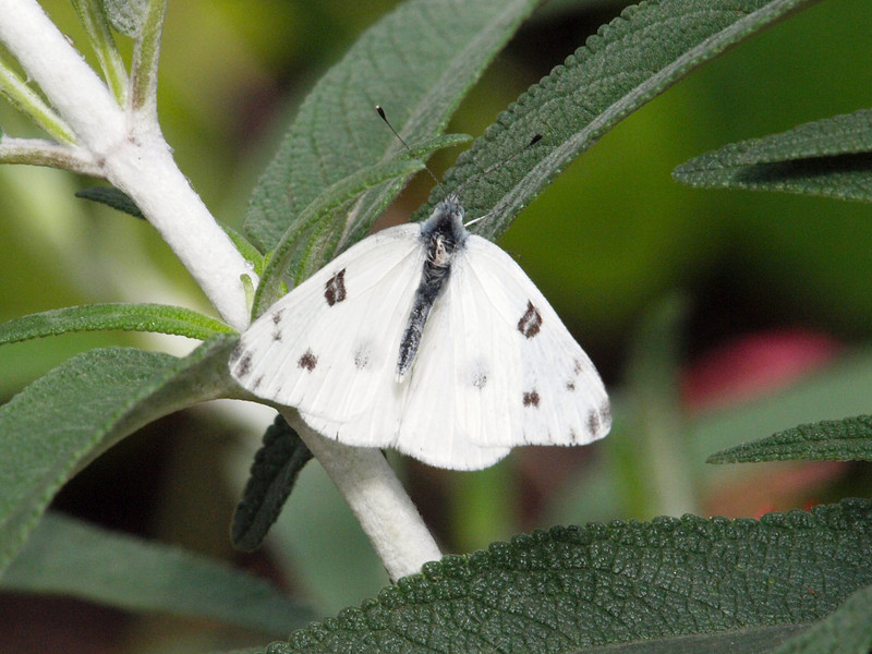 Checkered White at Butterfly Jungle - 24 Apr 2010