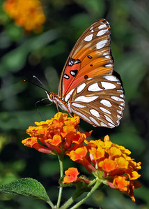 A Passion Butterfly also know as Gulf Fritillary (Agraulis vanillae) on a Lantana Bloom