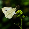 Margined White