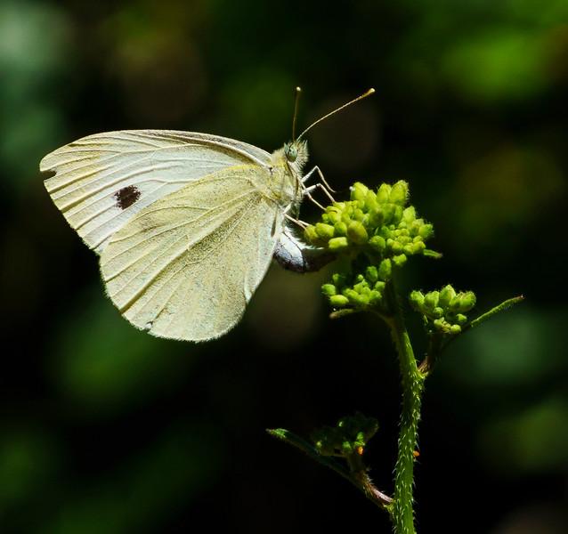 Margined White