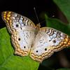 White Peacock - Butterfly Wonderland - 28 Mar 2014