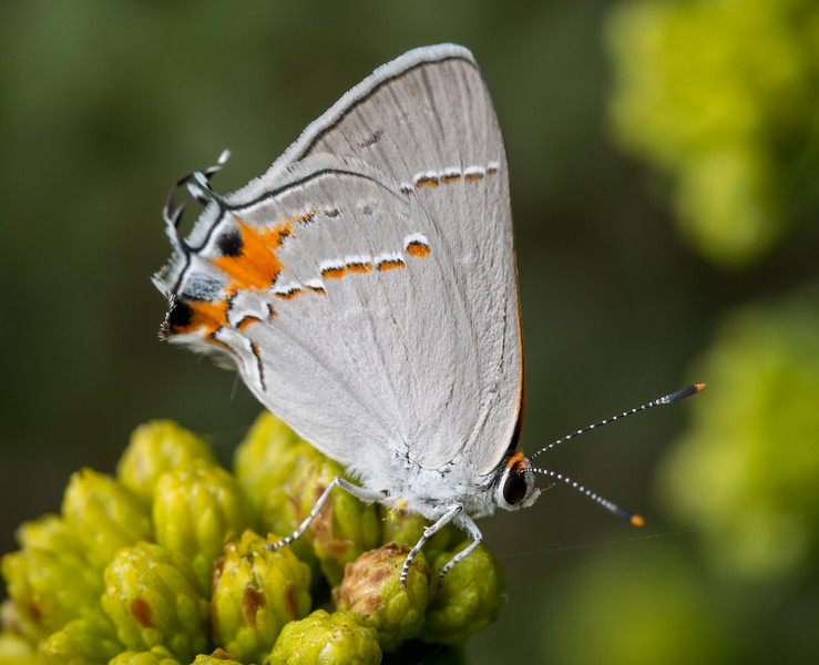 Gray Hairstreak Butterfly seen at PCH and Tuna Canyon - Pismo Beach Drive - 14 Sep 2013